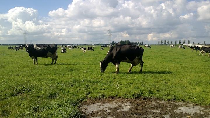 Koeien op de boerencamping