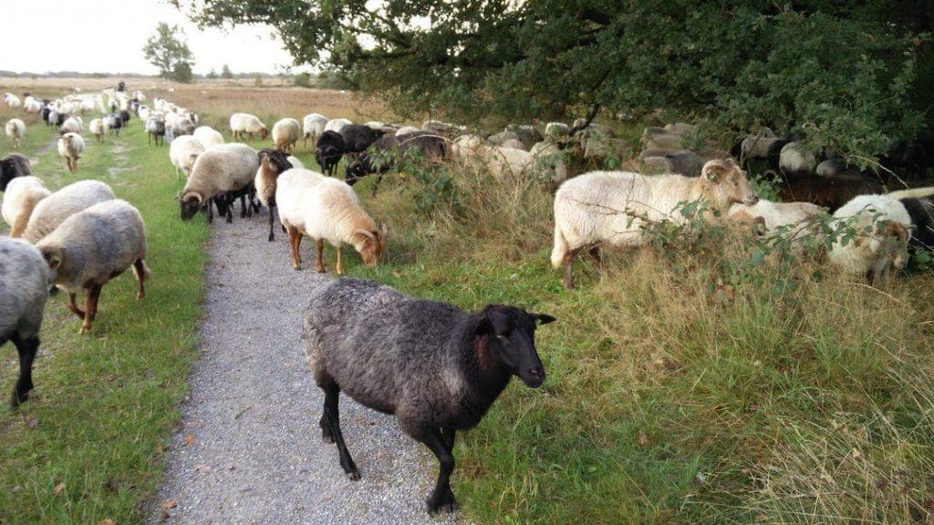 Bezoek de schaapskudde tijdens je overnachting op een boerencamping in Gelderland